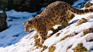 snow leopard wallpapers hd desktop