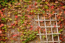 Ivy Plants Near Walls Is Boston Ivy Growing Up Brick Surfaces Ok