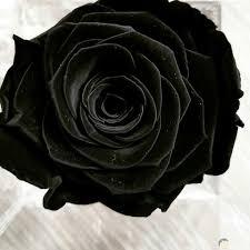 صور ورده سوداء شاهد جمال الورد الاسود الحبيب للحبيب