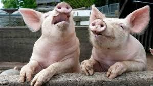 """En Neuquén la producción de porcinos comienzan a """"mejorar ..."""
