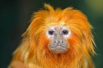 """Resultado de imagem para mico leao dourado"""""""