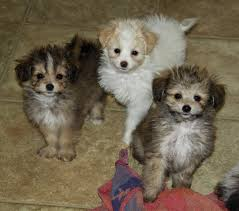 pomeranian and poodle cross puppies