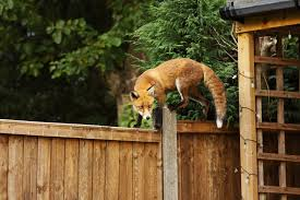 deter foxes from your garden rubbish