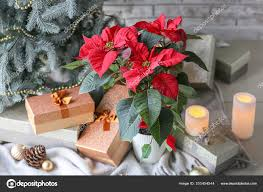 plant poinsettia and gift bo near
