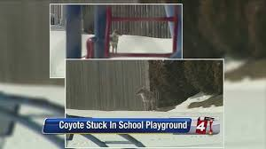 Coyote sightings at local playground causing concerns for parents