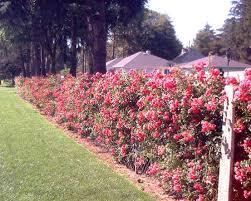 Picture Of Rose Bushes Hiding Chain Link Fence Chain Link Fence Fence Landscaping Garden Fencing