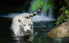 خلفيات طبيعة عالية الوضوح Hd نمر أبيض في نهر