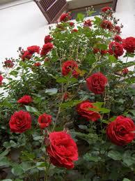 Kỹ thuật trồng cây hoa Hồng leo cổ Hải Phòng ngào ngạt hương thơm ...