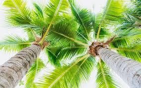تحميل خلفيات خضراء كبيرة سعف النخيل أسفل عرض جوز الهند أشجار