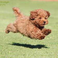 toy poodle breeders in southern california