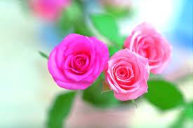 pink rose flower wallpapers wallpaper