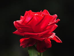 red flower wallpapers free