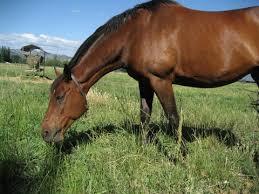 feeding pregnant mares