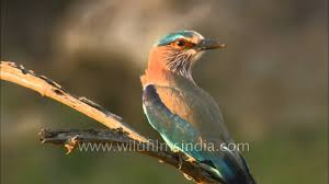 indian roller or blue jay coracias