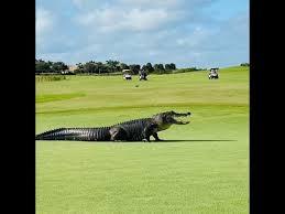 Giant Gator Walks Across Golf Course In Florida Youtube