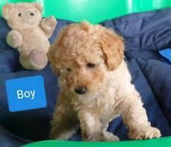 tiny toy purebred poodle transport