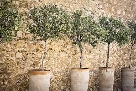 dwarf trees to grow in containers and