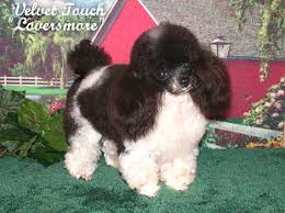 teacup poodle male and tiny toy poodle