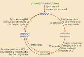 dna replication transcription
