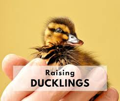 raising ducks 101 how to take care of