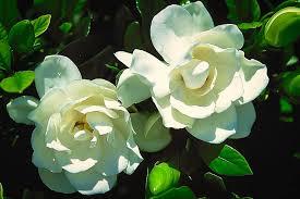 august beauty gardenia the