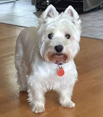 Adele - West Highland Terrier Rescue Westies in Need Canada