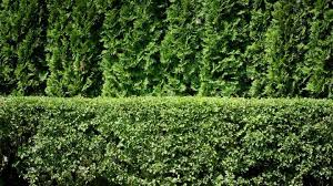 Best Shrubs For Making Privacy Hedges Old Farmer S Almanac
