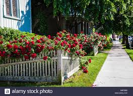 Row Of Red Roses On A Garden White Picket Fence And Sidewalk Cape Stock Photo Alamy