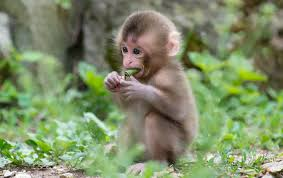 baby monkey hd wallpaper a funn and