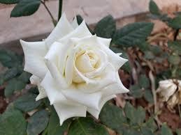 Images Gratuites : rose blanche, la nature, fleur, Rose famille ...
