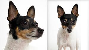 toy fox terrier dog breed selector
