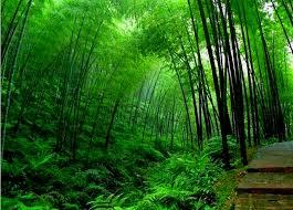 free bamboo tree wallpapers hd