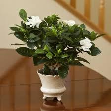 gardenia indoor house plants