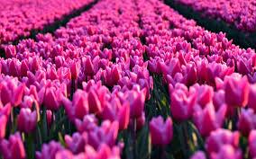 تحميل خلفيات مجال الوردي الزنبق ربيع الزهور الوردية الزنبق