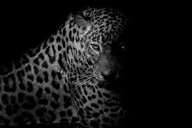 black leopard wallpapers on wallpaperplay