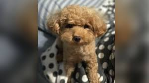man jailed for killing toy poodle by