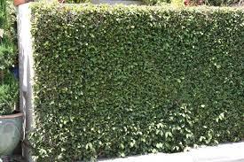 Creeping Fig Landscaperesource Com Trellis Plants Climbing Plants Fence Creeping Fig