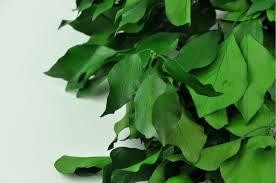 Preserved Ivy green bulk sale Phocealys wholesale supplier professionals