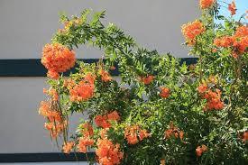 PlantFiles Pictures: Tecoma Hybrid, Orange Bells, Smith's ...