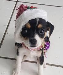 pennigton nj toy fox terrier meet