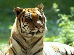 اجمل و احلى صور نمور Tigers