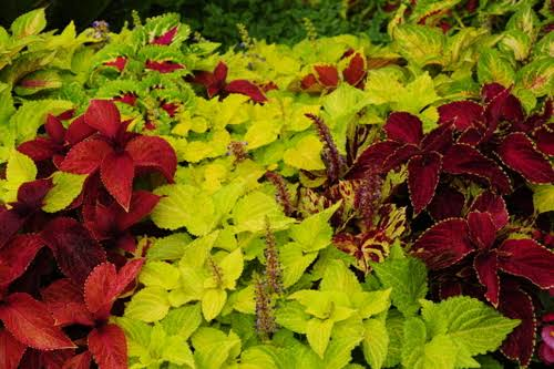 Image result for coleus""
