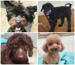 poodles rescued from korean shelter up