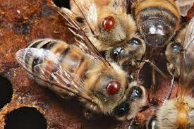 Najveći štetočina na pčelinjacima - Važnost proljetnog pregleda ...