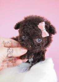 micro chocolate poodles