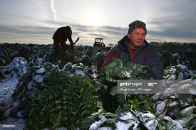 Mike Parry and Adam Walters work in the sprout fields at Essington... News  Photo - Getty Images