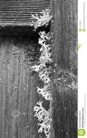 Lichen Growing On The Aged Wood Of A Fence Black And White Stock Image Image Of Grain Fashioned 114318879