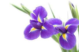Pictures Of Iris Flowers Pictures Of