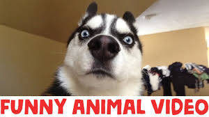 مستحيل التوقف عن الضحك تجميعة مضحكة للحيوانات زوشن