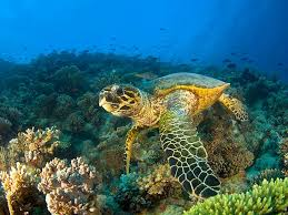 hd wallpaper sea turtle cool picture